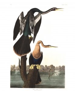 2_black-bellied-darter-tavola-316-1-247x300